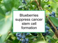 Blueberries suppress stem cell formation