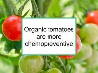 Organic tomatoes more chemo- preventive