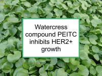 Watercress compound PEITC inhibits HER2+ growth